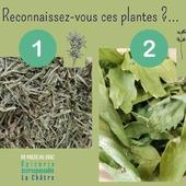 Bonjour Bonjour  Ces 2 nouvelles plantes sont arrivées samedi à l'épicerie ! Bio, locales, récoltées par Claire des Prés à Fougerolles, elles ont toutes les deux un parfum exceptionnel ! ❶ La sarriette des montagnes : Alimentaire : usage similaire à celui du thym et par extension à celui des « herbes de Provence ». Accompagne très bien des aliments parfois difficiles à digérer : légumineuses, viandes. Médicinal : anti-infectieuse (et antifongique, contre mycoses…), digestive [notamment stimulation de l'estomac, carminative (contre flatulences), contre diarrhées], tonique générale. En infusion : 1 càc par tasse, infusion 10min, après repas. ❷ La livèche, ou cèleri vivace : Alimentaire : pour préparer des bouillons (on l'appelle aussi l' « herbe à Maggi » car elle possède un goût similaire à celui du fameux cube !), aromatiser soupes, pot-au-feu, sauces, omelettes, salades ; en accompagnement de viandes blanches, poissons Médicinal : plante agissant sur les fonctions d'élimination (« détox ») : digestive (flatulences…), diurétique, drainante des voies hépato-rénales (inflammations urinaires…), emménagogue. Contre-indiquée en cas d'insuffisance rénale. En infusion : 1 càc de feuilles fragmentées par tasse, infusion 10min. 𝐃𝐞́𝐜𝐨𝐮𝐯𝐫𝐞𝐳 𝐧𝐨𝐭𝐫𝐞 𝐬𝐞́𝐥𝐞𝐜𝐭𝐢𝐨𝐧 𝐝𝐞 𝐩𝐥𝐚𝐧𝐭𝐞𝐬 𝐬𝐞̀𝐜𝐡𝐞𝐬 𝐩𝐨𝐮𝐫 𝐯𝐨𝐬 𝐢𝐧𝐟𝐮𝐬𝐢𝐨𝐧𝐬 : 𝐡𝐭𝐭𝐩𝐬://𝐮𝐫𝐥𝐳.𝐟𝐫/𝐞𝐦𝐩𝐃 ― ― ― ― ― ― Belle journée 🌍 Gwen & Arnaud, vos épiciers 🌿 ― ― ― ― ― ― On passe au vrac É͏p͏i͏c͏e͏r͏i͏e͏ i͏n͏d͏e͏́p͏e͏n͏d͏a͏n͏t͏e͏, de͏p͏u͏i͏s͏ m͏a͏r͏s͏ 2͏0͏1͏9͏ ⏳ Du Mardi au Samedi : 9h - 19h en continu ♻️ + de ❶⓿⓿⓿ références 🏡 117 rue nationale • 36400 La Châtre ✆ 02.54.30.96.93 ⏸ Arrêt-minute ♿ Accès PMR 🛒 https://www.onpasseauvrac.fr/ ― ― ― ― ― ― #onpasseauvrac #zerodechet #ecoresponsable #antigaspi #opav #lachatre #berryprovince #centrevaldeloire #sansemballage #commercedeproximite #vrac #vracindependant #consommerautrement #locavore